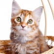 Small kitten in straw basket — Stok fotoğraf