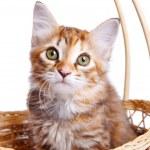 Small kitten in straw basket — Stock Photo