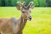 Young deer — Stock Photo