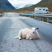 Sheep resting on road — Stock Photo