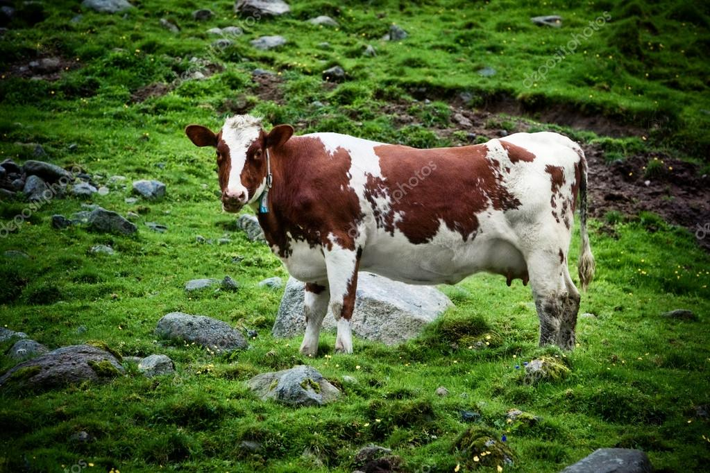 Cow on meadow. Contrast colors. — Foto de Stock   #12557621