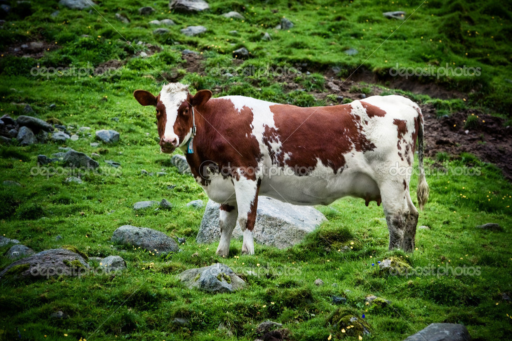 Cow on meadow. Contrast colors. — Zdjęcie stockowe #12557621
