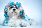 Cachorro shih tzu — Foto Stock