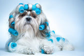 Shih tzu dog — Foto de Stock