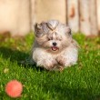 Shih tzu dog running — Stock Photo