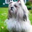 Shih tzu dog — Stock Photo #14607743