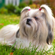 Shih tzu dog — Stock Photo #14607789