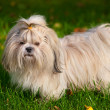 Shih tzu dog — Stock Photo #14607817