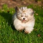 pies shih tzu — Zdjęcie stockowe #14607861