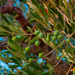 Olive tree - Stock Photo
