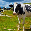 Stock Photo: Cows on mountain meadow