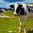 Cows on mountain meadow — Stock Photo