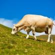 kráva na louce牧草地で牛します。 — Stock fotografie