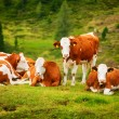 Cows on field — Stockfoto