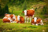 Cows on field — Stock Photo