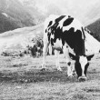 Three cows on field — Foto Stock