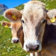 Cows on mountain meadow — Foto Stock