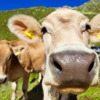 Cows on mountain meadow — ストック写真