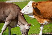 Schweizer kühe — Stockfoto