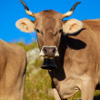 Cows on meadow — Stockfoto