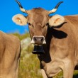 Cows on meadow — Foto de Stock