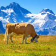 Cow on meadow — Stockfoto #25643055
