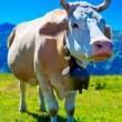 Cow on meadow — Stockfoto #25643103