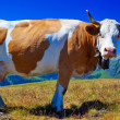 Cow on meadow — Stockfoto #25643115
