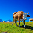 Cows on meadow — Foto Stock