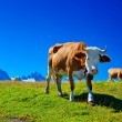 Cows on meadow — Stock Photo #25643215