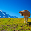 Cow on meadow — Stockfoto #25643519