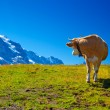 Foto de Stock  : Cow on meadow