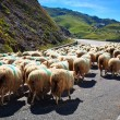 Stock Photo: Sheeps walking on road.