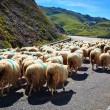 Sheeps walking on road. — Stock Photo