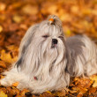 Shih tzu dog — Stock Photo