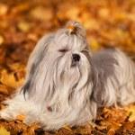 pies shih tzu — Zdjęcie stockowe #34624437