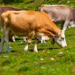 Cows on pasture — Stock Photo #35858897
