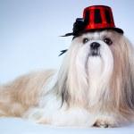 Shih tzu dog in hat — Zdjęcie stockowe
