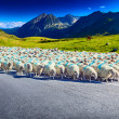 Sheeps walking on road — Stock Photo