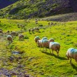 Sheeps on pasture — Stock Photo #47585755