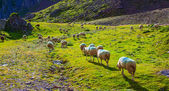 Sheeps on pasture — Stock Photo