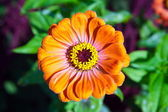 Mage beautiful flower bud orange Zinnia gotsveta — Stock Photo