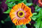 Mage beautiful flower bud orange Zinnia gotsveta — Stock Photo