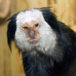 Picture of a small mammal marmoset Geoffroy - Stock Photo