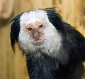 Picture of a small mammal marmoset Geoffroy — Stock Photo