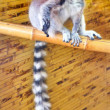 Stock Photo: Picture of small mammal tailed lemur