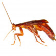 Image of cockroach crawling insect pest — Stock Photo #27127969