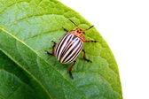Image of Colorado beetle on potato leaf — Stock Photo