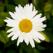 Beautiful sunny chamomile flowers close-up — Stock Photo