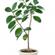 Ficus flower in a pot isolated on white — Stock Photo